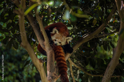 Fotobehang Panda A red panda - well camouflaged..
