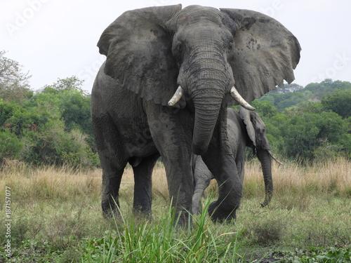 Elefanten in Afrika - Uganda - Wildlife Poster