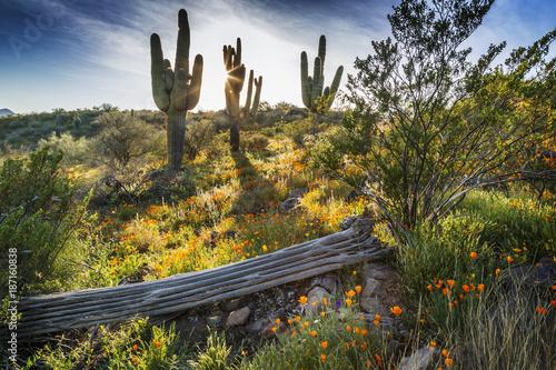 Desert Wildflowers and Saguaro Cacti in Arizona at Sunset - 187160838