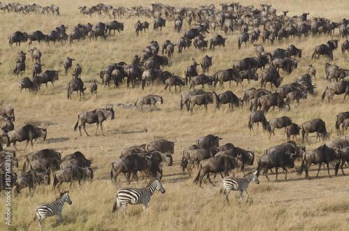 Migrazione di Gnu dal Masai Mara al Serengeti Poster