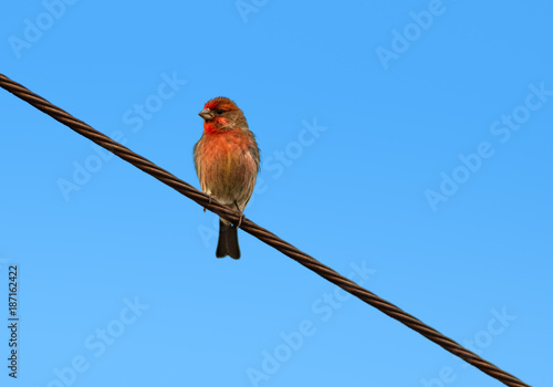 Foto Murales House Finch perched on power line
