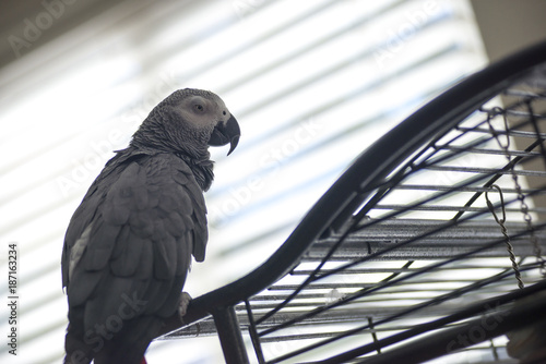 Aluminium Papegaai African Parrot
