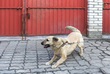 dog on a chain in the yard