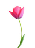 Fototapeta Tulipany - Tulip flower isolated on white background © ImagesMy