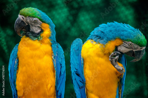 Foto Murales blue and yellow macaw