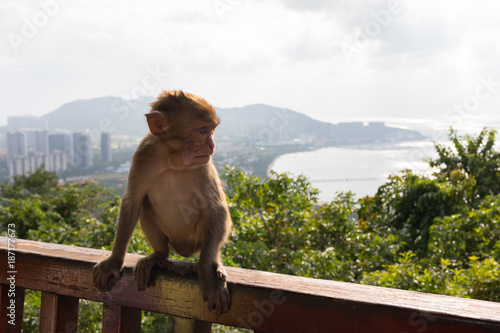 Fotobehang Aap Young monkey close-up on background of a tropical park of the city and the sea