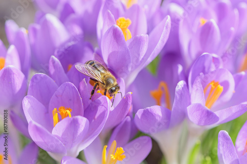 Fotobehang Bee Bee picking pollen from crocus flower. Early spring close-up flowers and working honeybee.