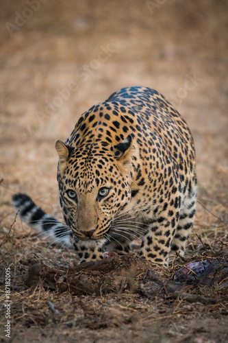 A male leopard from jhalana forest reserve, jaipur Poster
