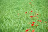 Mohnblumen  - Mohnblüte