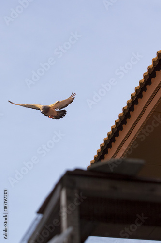 flying homing pigeon bird at home loft