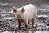 Schweine in Freilandhaltung - Biofleisch - 187198092