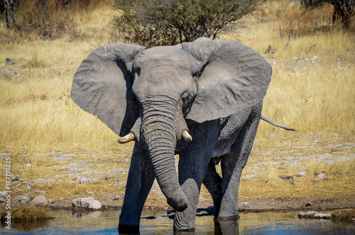 Afrikanischer Elefant / Etosha Nationalpark, Namibia Poster