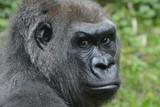 Western lowland gorilla, - 187202463