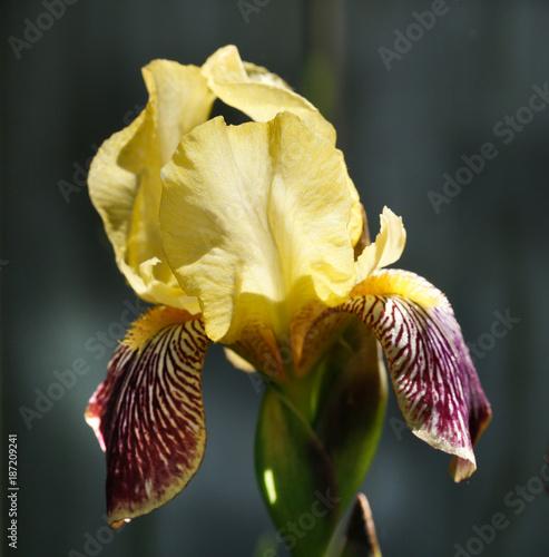 Fotobehang Iris Yellow Iris