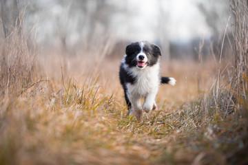 Running border collie puppy in winter time