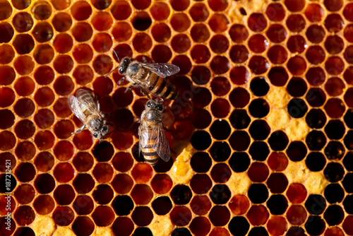 Fotobehang Bee Beautiful Bees on honeycomb. Close-up of bees on honeycomb in apiary in the summer.