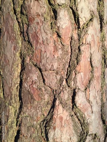 Pine bark texture. - 187219416