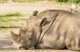 rhinocero head closeup - 187223482