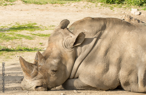 Fotobehang Neushoorn rhinocero head closeup