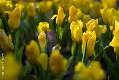 Fotobehang Tulpen Beautiful bouquet of tulips. colorful in garden in selective focus