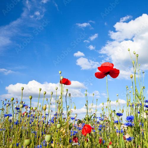 Fotobehang Klaprozen Fleurs des champs en campagne, France