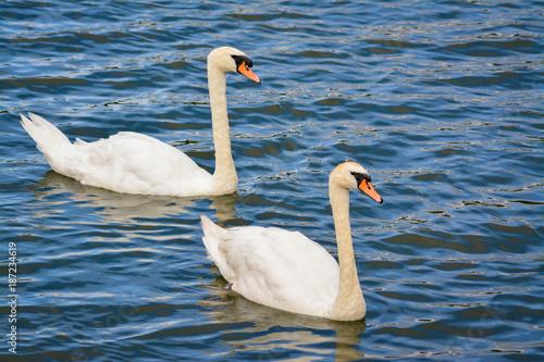 Fotobehang Zwaan Swimming Swans