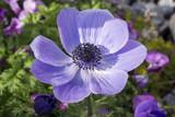 Violette Kronen-Anemone - 187242655