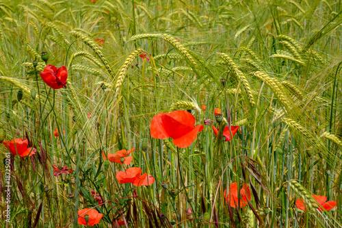 Foto op Canvas Klaprozen Champ de blé avec ds fleurs de coquelicots. au printemps.