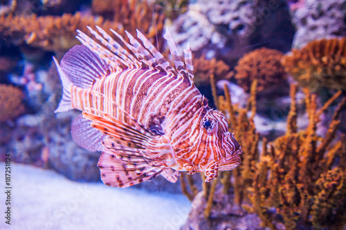 Foto Murales The red lionfish (Pterois volitans) is a venomous coral reef fish in the family Scorpaenidae