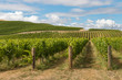 New Zealand countryside with vineyard and blue sky