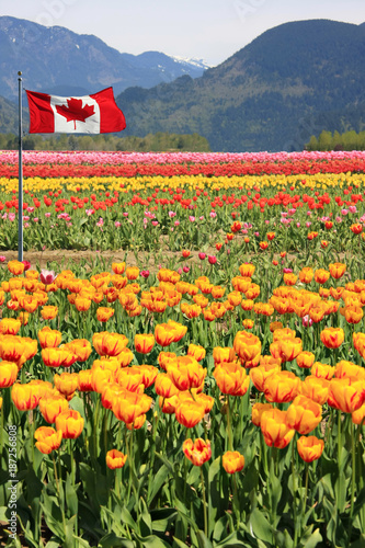 Foto op Plexiglas Canada Tulip fields in Canada with the Rocky mountains in the background and a Canadian flag in the foreground.