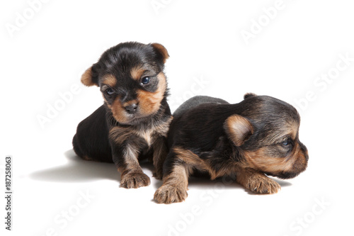 Yorkshire terrier puppy dog at the age of three weeks