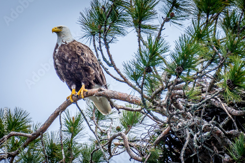 Plexiglas Eagle Bald eagle sitting in the top of a huge pine tree, watching over its nest. Algonquin Provincial Park, Ontario, Canada.