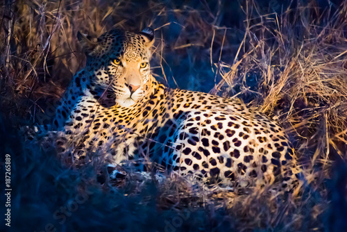 leopard in dense bush at night Poster