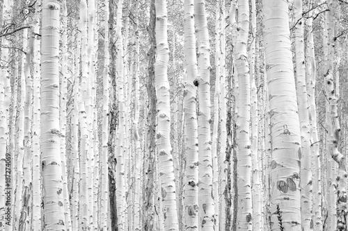 Czarne i białe osiki drzewa robią naturalnemu tło tekstury wzorowi w Kolorado halnego lasu krajobrazu scenie