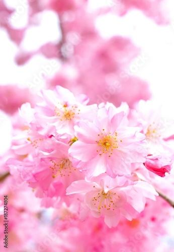 Plexiglas Candy roze 桜の花のクローズアップ、日本の春