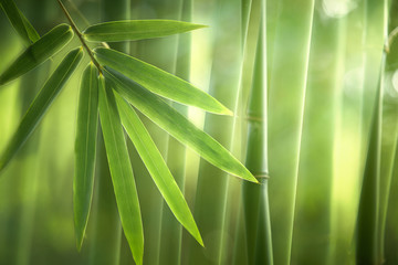 Bamboo forest in the morning,natural background © lily