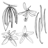 Hand drawn vanilla. The pods and flowers. Vector sketch  illustration.