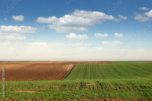 Foto Murales young green wheat and plowed field landscape spring season