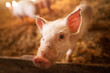 A small piglet in the farm. Swine in a stall. Shallow depth of field portrait of young pig in the farm.