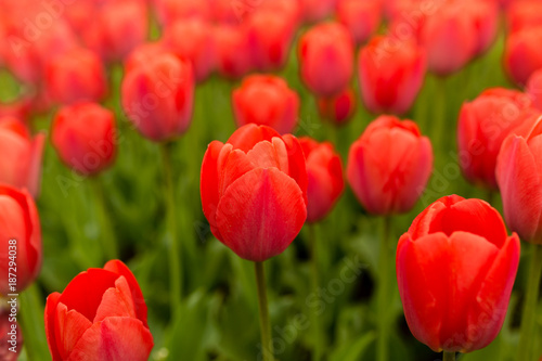 Foto Murales Beautiful red tulips in a park in the nature