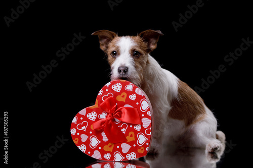 Cute Jack Russell Terrier. Valentine's day.