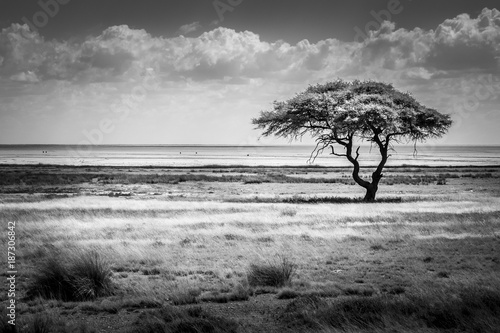 canvas print picture Lonley umbrella-thorn-tree under a cloudy sky in the arid landscape of Etosha-Nationalpark, Namibia