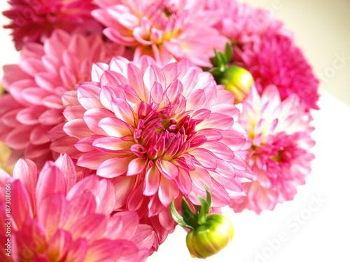 ピンクのダリアの花 - 187308066