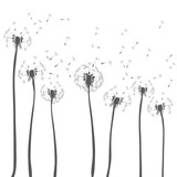 Dandelions blowing. Vector illustration of dark grey silhouettes on white background