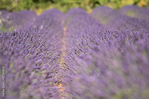 Fotobehang Lavendel Big lavender field