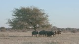 Group of wildebeest standing under the shade of acacia tree - 187314871