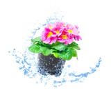 Rosa Primel mit Wasser, Wasserspritzer