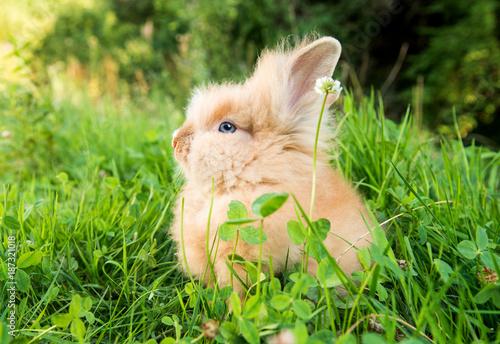 Foto Murales rabbit on green grass