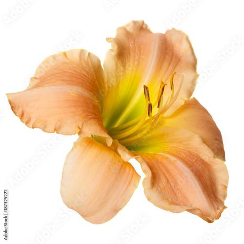 Kwiat daylily odizolowywający na białym tle.
